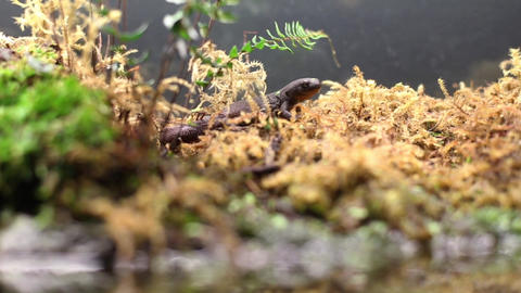 Gecko Side Tracking shot Footage