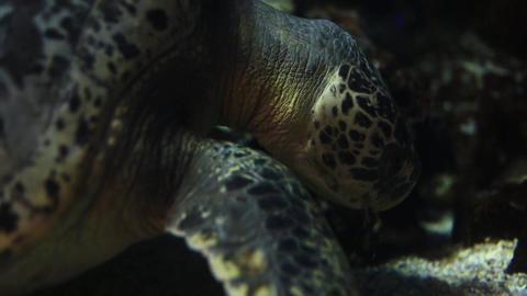 Close Up Shot Of Sea Turtle stock footage