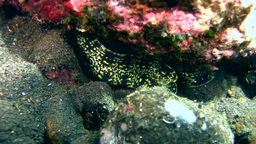 Clouded or Snowflake moray (Echidna nebulosa) Footage