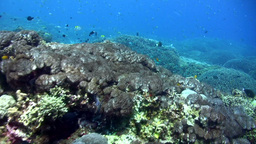 Field of pristine mix coral full of reef fishes Footage