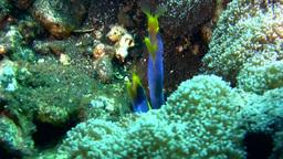 2 blue ribbon eel (Rhinomuraena quaesita) sharing  Footage
