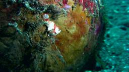 Warty frogfish (Antennarius maculatus) juvenile Footage