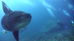 Oceanic sunfish (mola-mola) with divers Footage
