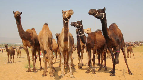 Camels During Pushkar Camel Fair stock footage