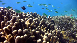 Huge Field Of Acropora Palifera In Nusa Penida, Ba stock footage