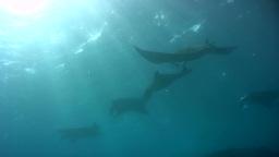 Bunch Of Giant Manta Ray (Manta Blevirostris) Swim stock footage