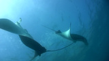 Bunch of giant manta ray (Manta blevirostris) swim Footage