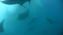 Bunch Of Giant Manta Ray (Manta Blevirostris) Pass stock footage
