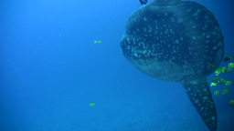 Oceanic Sunfish (Mola Mola) And Marbeled Stingray  stock footage