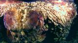 Reef octopus (Octopus sp.) very close up Footage