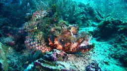 Tasseled scorpionfish (Scorpaenopsis oxycephala) o Footage