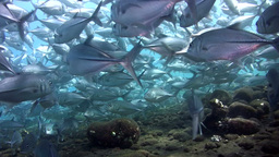 School of bigeye trevally (Caranx sexfasciatus) on Footage