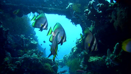 Shaded batfish (Platax pinnatus) on liberty wreck, Footage