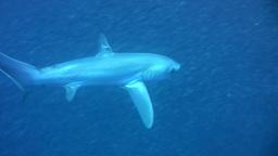 Bigeye thresher shark (Alopias superciliosus) swim Footage