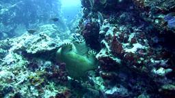Hawksbill Turtle (Eretmochelys Imbricata) Sitting  stock footage
