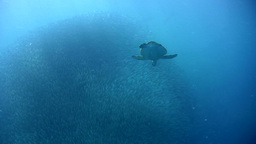 Green sea turtle (Chelonia mydas) swimming into a  Footage