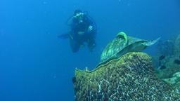 Green sea turtle (Chelonia mydas) landing in barre Footage