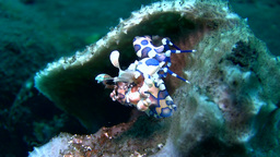 Harlequin Shrimp (Hymenocera Elegans) stock footage