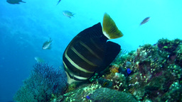 Pacific sailfin tang (Zebrasoma veliferum) Footage