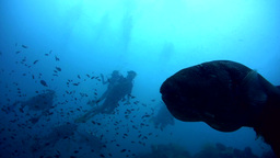 Starry pufferfish (Arothron stellatus) coughing wi Footage