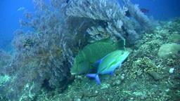 Napoleon wrasse (Cheilinus undulatus) young, swimm Footage