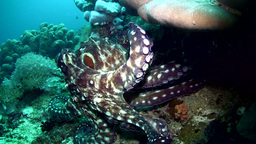 Common reef octopus (Octopus cyanea) crawling Footage
