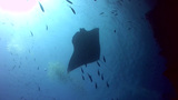 Giant Manta Ray (Manta Birostris) Silhouette stock footage