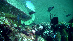 Honeycomb, laced or blackspotted moray (Gymnothora Footage