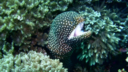 Whitemouth moray (Gymnothorax meleagris) close up Footage