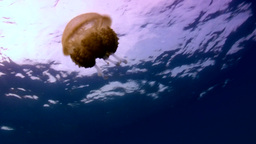 Jellyfish in the blue Footage