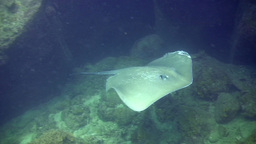 Wounded Jenkin's whipray (Himantura jenkinsii) swi Footage