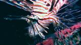Common lionfish (Pterois volitans) close up Footage
