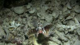 Shortfin lionfish (Dendrochirus brachypterus) swim Footage