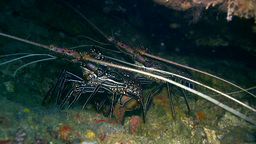 Stripe-leg Spiny Lobster (Panulirus Femoristriga) stock footage