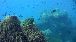 Blue-spotted grouper (Cephalopholis cyanostigma) i Footage