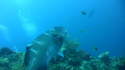 Blacksaddled Grouper (Plectropomus Laevis) Being C stock footage