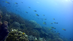 Hard Coral Reef With Fusiliers stock footage