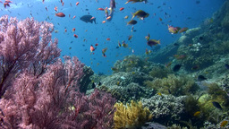 Coral reef with clouds of anthias Footage