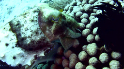 Broadclub cuttlefish (Sepia latimanus) laying eggs Footage