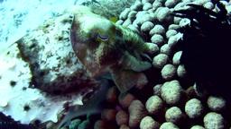 Broadclub cuttlefish (Sepia latimanus) laying eggs Footage