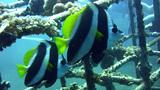 Longfin bannerfish (Heniochus acuminatus) Footage