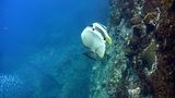 Tall-fin batfish (Platax teira) bitten Footage