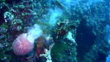 Barrel sponge (Callyspongia sp.) spawning, a very  Footage