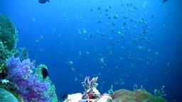 Schooling bannerfish (Heniochus diphreutes) Footage