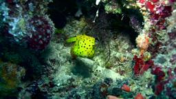 Yellow boxfish (Ostracion cubicus), juvenile Footage