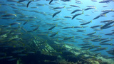 Yellowtail barracuda (Sphyraena flavicauda) on top Footage