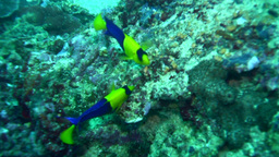 Blue-and-gold angelfish (Centropyge bicolor) Footage