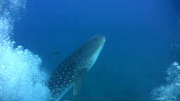 Whaleshark (Rhincodon typus) coming out of bubbles Footage