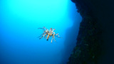Feather Star Gracefully Swimming stock footage