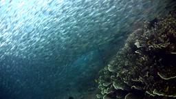 Massive school of riverside fishes (Atherinidae) o Footage